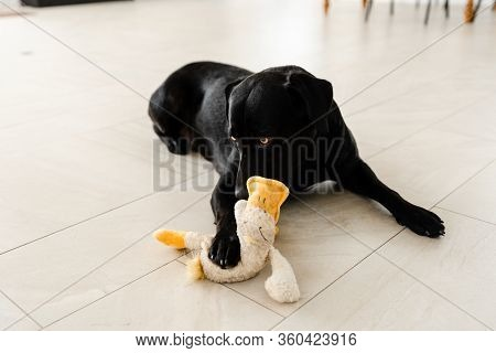 Black Labrador Holding A Toy Duck In His Teeth,playful Labrador Best Pet,well-groomed Dog,dog Lying