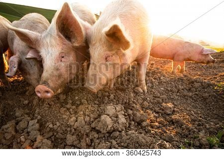 Pigs eating on a meadow in an organic meat farm - wide angle lens shot
