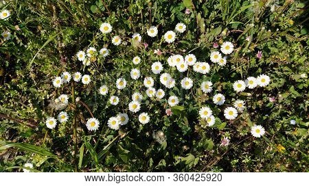 Common Daisy, English Daisy, Bellis Perennis, Herbaceous Perennial With Rosette Of Spoon Shaped Leav