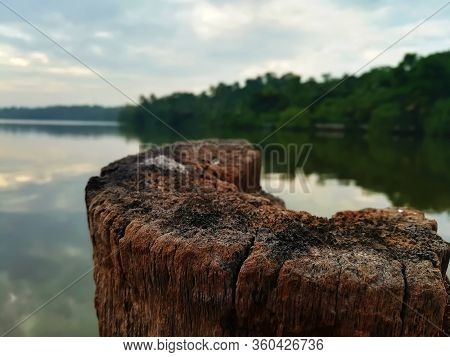 Coconut Tree Wood Stick In River For Tie Boat