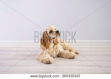 Dog. American Cocker Spaniel Puppy On A Gray Background