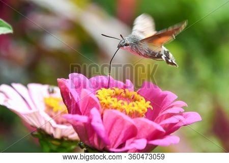 An Hummingbird Hawk-moth Flying And Feeding Nectar. Little Butterfly Macroglossum Stellatarum Fly Ov
