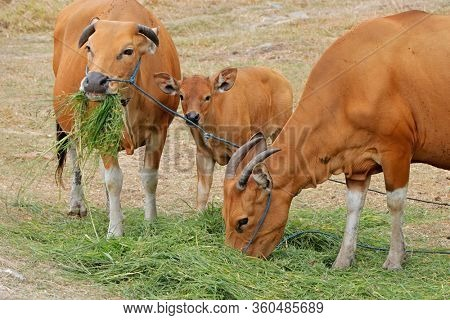 Bali cattle cows and calf - domesticated wild cattle (Javan banteng) from Bali, Indonesia