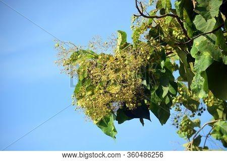 Teak Tree - Teak Tree Flower, Green Teak Leaf