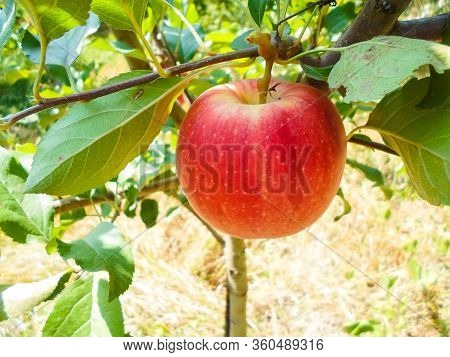 Red Apples On Tree Branches. Big Apples On The Trees In The Middle Of Summer.