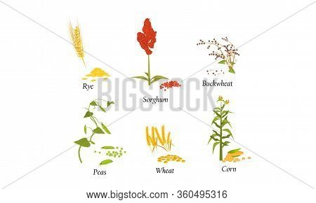Hand Drawn Different Types Of Cultivated Cereals For Harvesting