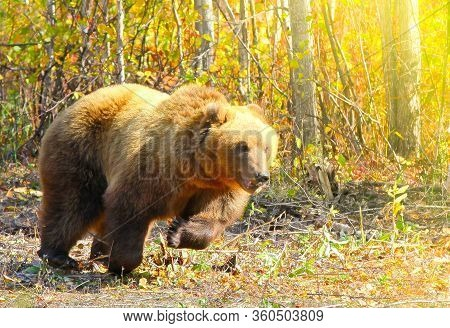 The Brown Bear Ursus Arctos Running On The Forest On Kamchatka