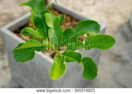 Greenery Branches Of Kaffir Lime Leaves Plant With Green Small Leaf 's Bud Under Orange Sunlight Mor