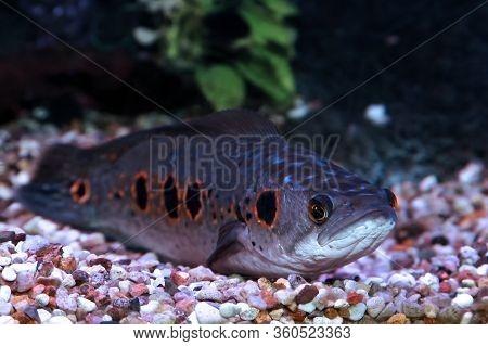 Channa Pleurophthalma Fish. Freshwater Aquarium Fish Snakehead Mottled