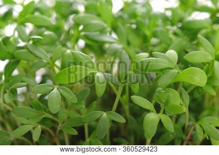 Fresh Green Leaves Of Young Cress In Close-up