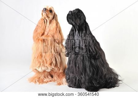 Two Cute American Cocker Spaniels In The Studio On A White Background, Cocker Spaniels Isolated On W