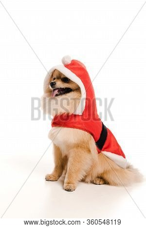 Adorable Pomeranian Spitz Dog In Santa Costume At Christmastime On White
