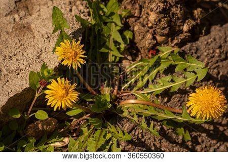 Yellow Dandelions. Bright Flowers Dandelions. Dandelion. Used As A Medical Herb And Food Ingredient
