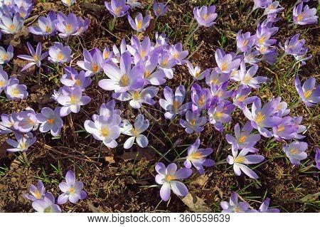 Flowers Of Crocus (crocus Vernus) Among Dry Leaves On Sunny Spring Day