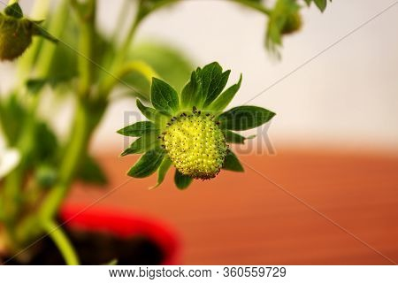 Close-up Of A Strawberry Blossom Out Of Focus Background