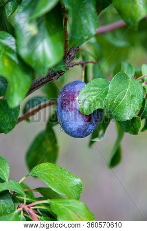 Ripe, Fresh And Raw Plum In The Tree.