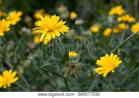 Calendula Blooming In The Garden. Yellow Flowers And Green Leaves.  .