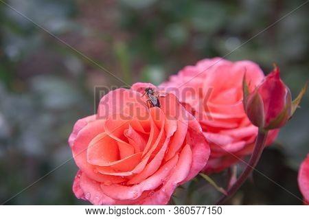Beautiful Rose Bush Growing In The Garden.