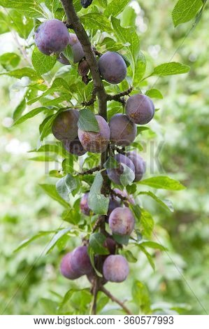 Plum Tree Branch With Ripe Juicy Fruits On Sunset Light..