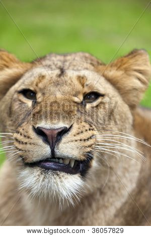 The angry lioness