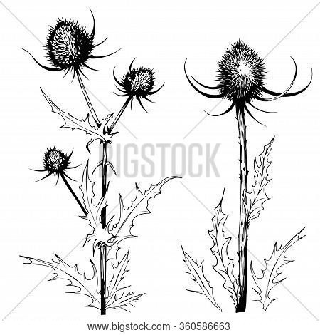 Sketchy Thistle Plants. Wild Meadow Herbs. Hand Drawn Vector Illustration Isolated On White.
