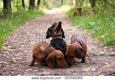 The Black Dachshund Gourmet In Surprise Refuses Food, While The Red Dachshunds Look For It And Eat I
