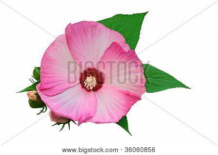 Flower Of  White-pink Hibiscus With Buds Isolated