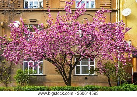 Blossoming Pink Cherry Tree (sakura Tree) On The Street