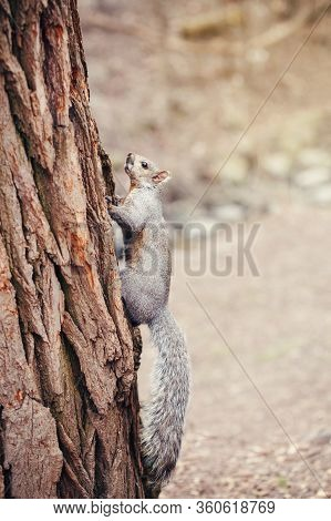 Grey Fat Squirrel With Thick Large Furry Tail Sitting On Tree In Park Outside. Animal Wild Squirrel