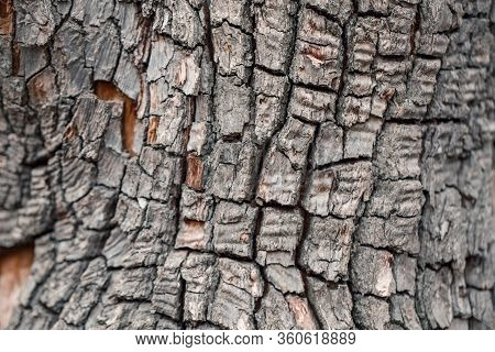 Natural Wooden Texture Background. Closeup Macro Of Old Aged Tree Bark. Abstract Oak Tree Nature Bac