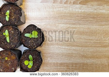 Burma Padauk Young Plants On Wooden Background With Copy Space For Sustainable With Afforest Concept