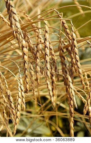 Dinkel oder Dinkel Weizen