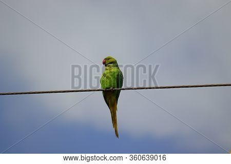 Rose Ringed Parrot Perching A Wire Against Cloudy Sky, Bird Watching,rose Ringed Parakeet Or Ring Ne