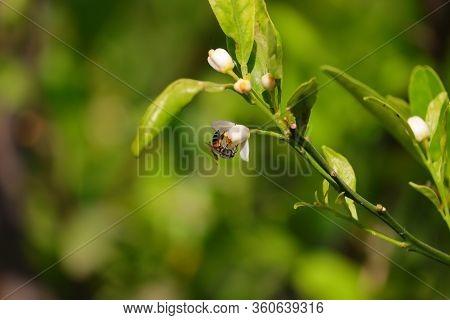 Honey Bee Or Apis Florea Feeding Nectar On White Flower Of Lemon Tree, Image Of Little Bee Or Dwarf