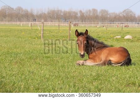 Brown Foal Resting In The Pasture. The Foal Lies On Green Grass
