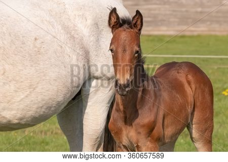 A Baby Horse With Mother Standing On Grass, Foal Is Looking At Camera.