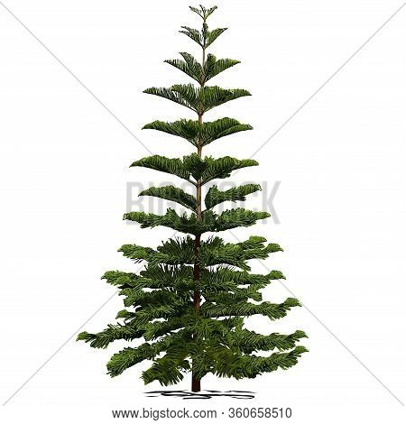 Evergreen Coniferous Araucaria Diverse (araucaria Heterophylla L., Norfolk Pine, Norfolk Island Pine