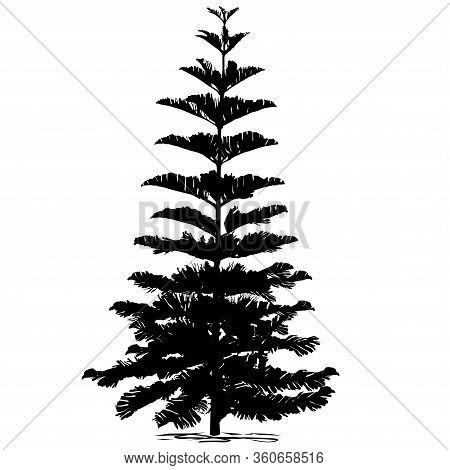 Silhouette Evergreen Coniferous Araucaria Diverse (araucaria Heterophylla L., Norfolk Pine, Norfolk