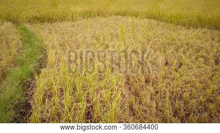 Harvested Rice Paddy Field In Vintage Background