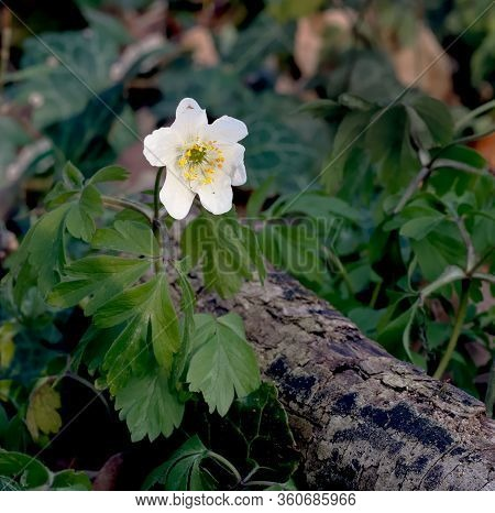White Spring Flower Called Wood Anemone, Anemone Nemorosa Or Windflower Growing On Tree Log In Fores