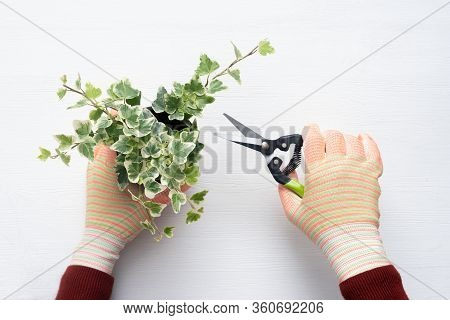 Gardener Is Pruning With A Pruner A Plant Branches.