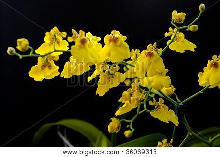 Yellow Orchid 3