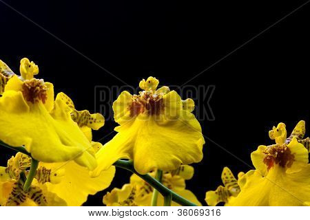 Yellow Orchid 9