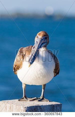 One Brown Pelican