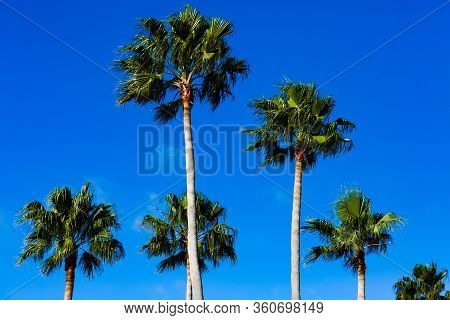 Treetops Of Mexican Fan Palm Trees Against A Beautiful Blue Sky