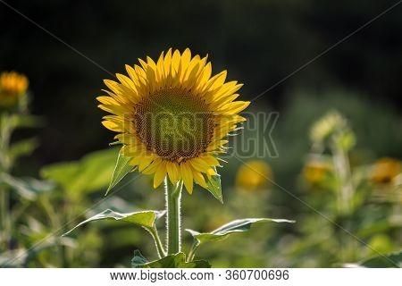 A Portrait Of A Sunflower In Millis Massachusetts