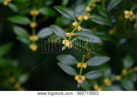 Buxus Buds Close-up. Sacramento-green Bush Of Boxwood. Dark Key.