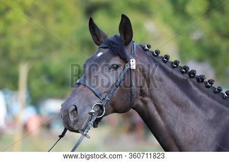 Thoroughbred Young Horse Posing At Animalfarm. Portrait Of A Purebred Young Race Horse Outdoors. Clo