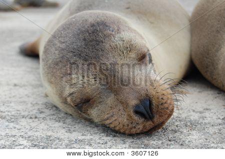 Young Galapagos Sea Lion
