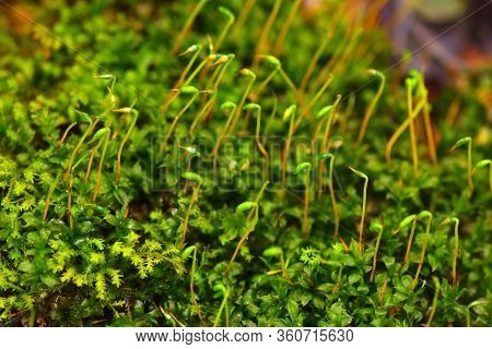 Forest Moss Close-up. Bright Green Color.